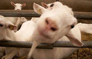 Daling+geitenmelkprijs