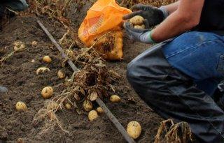 Pilot druppelirrigatie bij aardappelen