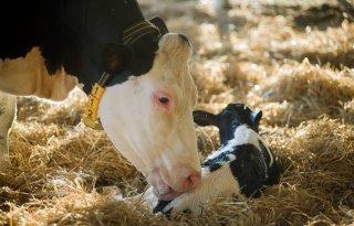 %27Kalf+toekomst+gezonde+melkveehouderij%27