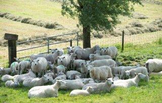 Twaalf+schapen+doodgebeten+in+Overijssel