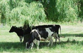 Bomen en vee prima combinatie