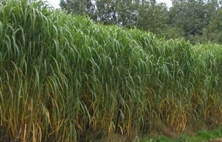 Grotere+plantafstand+stimuleert+miscanthus