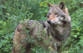 Wolf+maakt+oversteek+naar+Groningen