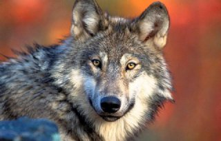 Wolf+afkomstig+uit+roedel+wolven+Duitsland