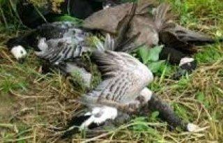PvdD: ganzen nek omdraaien buitensporig