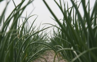 Agrifirm%3A+valse+meeldauw+in+plantuien