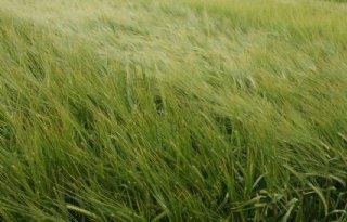 Volle aren in Nederlandse brouwgerst