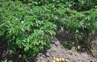 Weinig phytophthora nieuwe bio-aardappelen