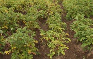 Eiwit beschermt planten tegen ziekten
