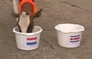WK%2DKoe+Sijtje+ziet+grote+overwinning+Oranje
