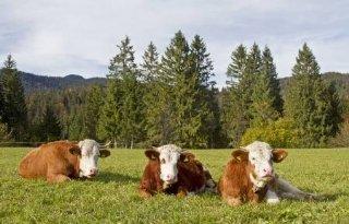 Fleckvieh+doet+minder+onder+voor+Holstein
