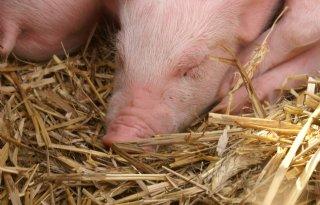 Opleiding middenkader varkenshouderij