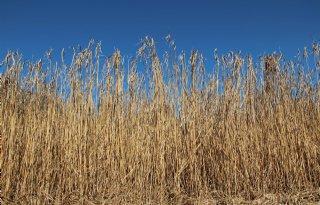 Kansen+kruising+suikerriet+en+olifantsgras
