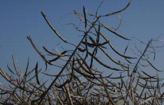 Proef winterkoolzaad: 5,7 ton per hectare