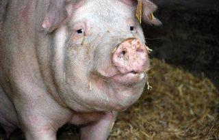 LTO en NVV: actie varkenshouderij