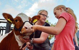Meer+koeien+en+kalveren+op+Hellevoetsluis