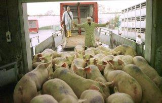 Chinezen bezoeken varkenshouders