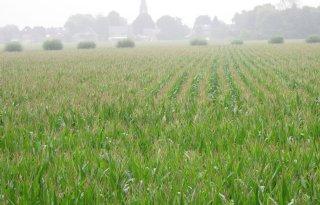 DLV neemt green snap mee bij mais