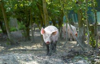 LTO+vraagt+aandacht+situatie+varkens
