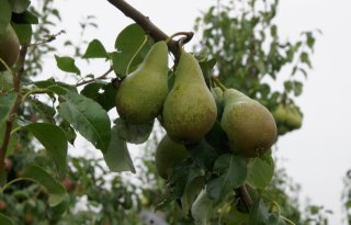 Fruittelers investeren in bescherming gewas