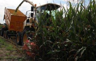 Maïs: stabiele prijs, wisselende opbrengst