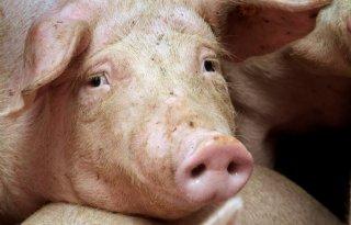 Weekend+van+het+varken+goed+bezocht
