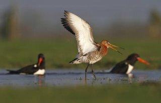 Beter waterbeheer weidevogels Reitdiep