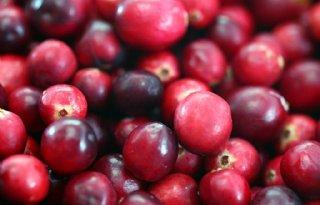 Cranberryteelt op veenweiden kansrijk