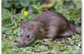 Seoulvirus+ratten+overdraagbaar+op+mensen