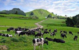 Minder melk Nieuw-Zeeland