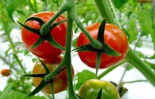 Hitte+legt+smaakstof+tomaten+vast