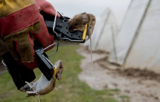 Muizenschade: 260 hectare in Limburg
