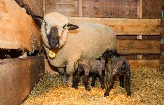Coupeerverbod+voor+alle+schapen+in+2028