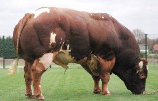 K.I. Samen meet bekkenmaten van stieren