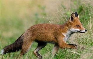 'Geen nachtelijke vossenjacht'
