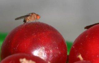 Ook+rot+fruit+plukken+tegen+suzuki%2Dfruitvlieg