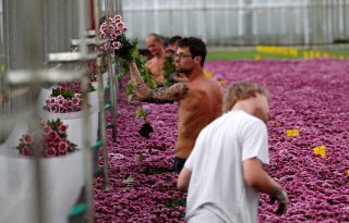 Nederland leider in chrysantenmarkt