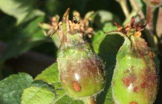 Tientallen meldingen van hagelschade in fruit