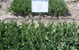 BASF+test+biologisch+middel+in+tulpen