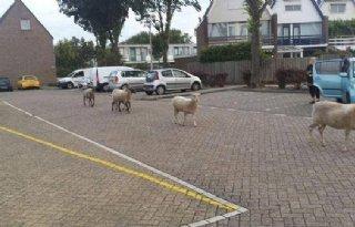 Politie+zoekt+eigenaar+schapen+Monster