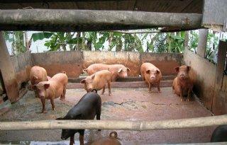 China+voert+meer+varkensvlees+in