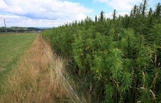 Vernielde+cannabis+blijkt+legale+hennep
