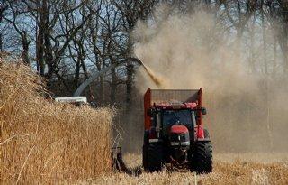 Hybride+suikerriet+groeit+in+koude+gebieden