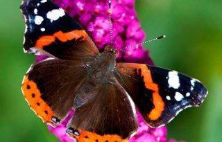 Atalanta+meest+getelde+vlinder+dit+weekend