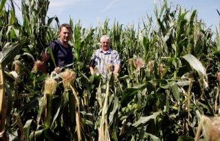 Maïs voor boer met muizenschade geknakt