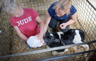 Biestopname via bloed checken op melkveebedrijf