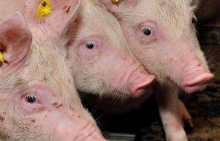 BEX%2DBEA+nog+niet+voor+kip+en+varken