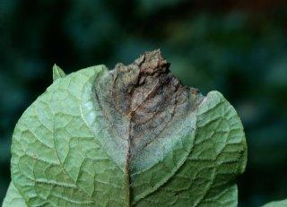 Extra duurwerking tegen Phytophthora infestans nodig