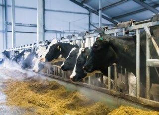 Inwendige vervetting van koeien, oorzaak en gevolg