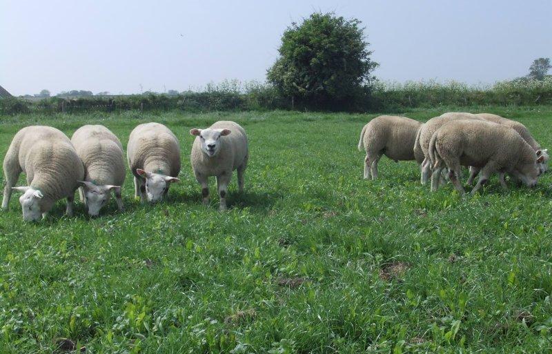 Lammeren grazen op perceel met cichorei en gras.